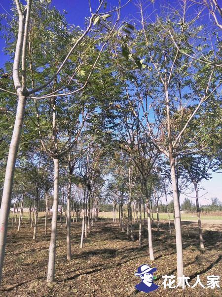 臭椿种子最详细的种植方法