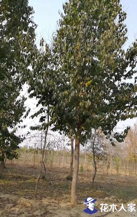 杜仲树如何修剪枝叶更加茂盛