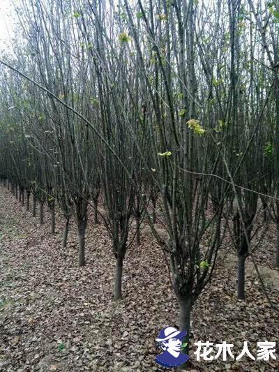 西府海棠花期多久,如何延长花期