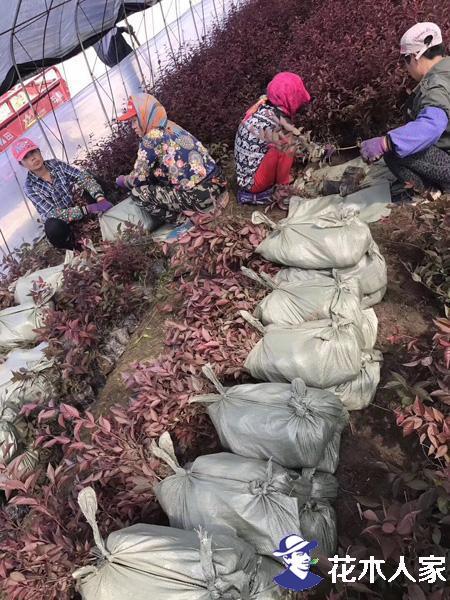 2019年红叶李树苗价格行情