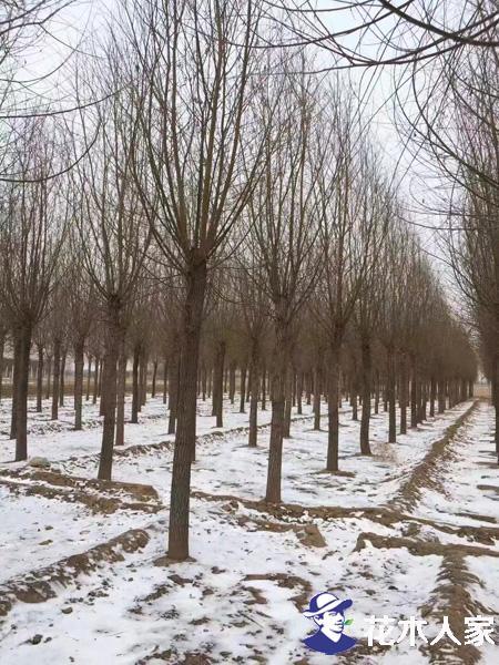 旱柳树的用途都有哪些