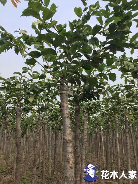 裂叶榆扦插繁殖详细步骤是什么