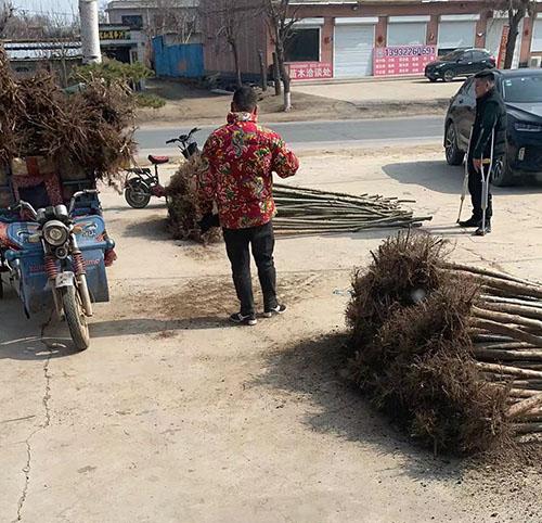 保定地区苗木市场购销两旺