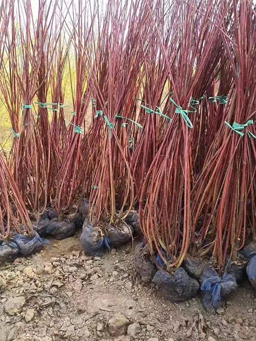 红瑞木的种植栽培管理技术