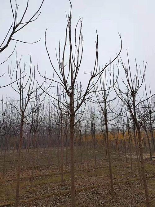 楸树育苗种植技术和管理方法