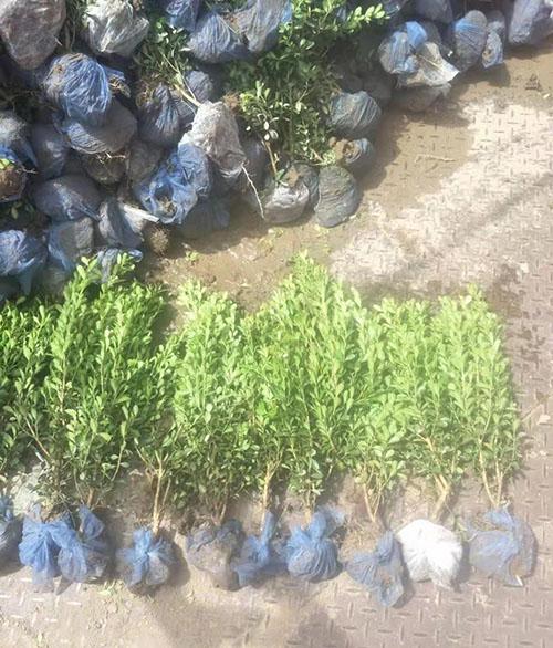 小叶黄杨繁殖方法和种植技术