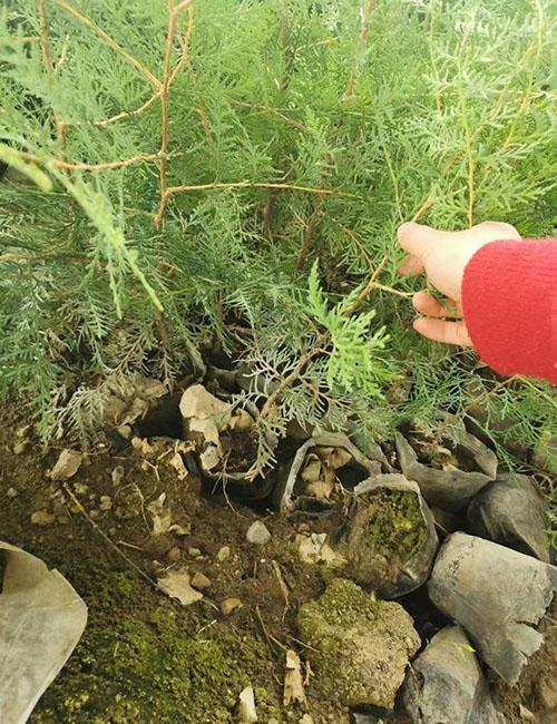 侧柏种植环境与种植技术