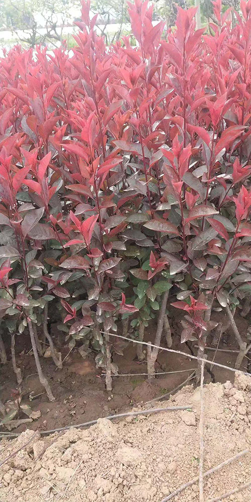 紫叶矮樱图片
