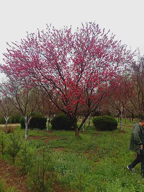 红叶碧桃生长习性