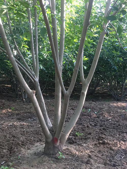 丛生白蜡栽培照片