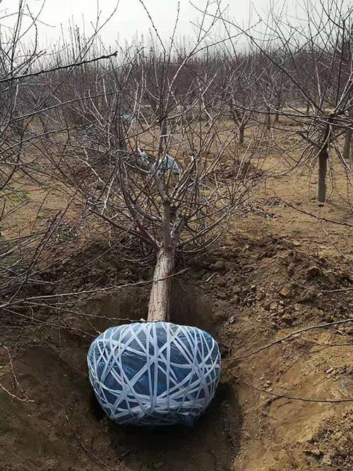 夏季苗木养护经验