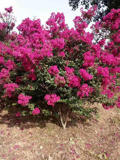 红花紫薇图片