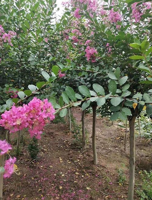 紫薇栽培照片