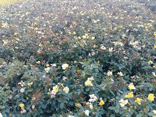 黄帽月季图片