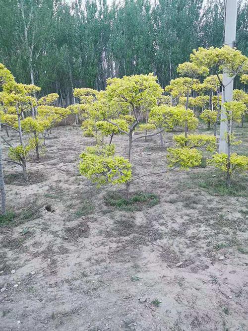造型金叶榆