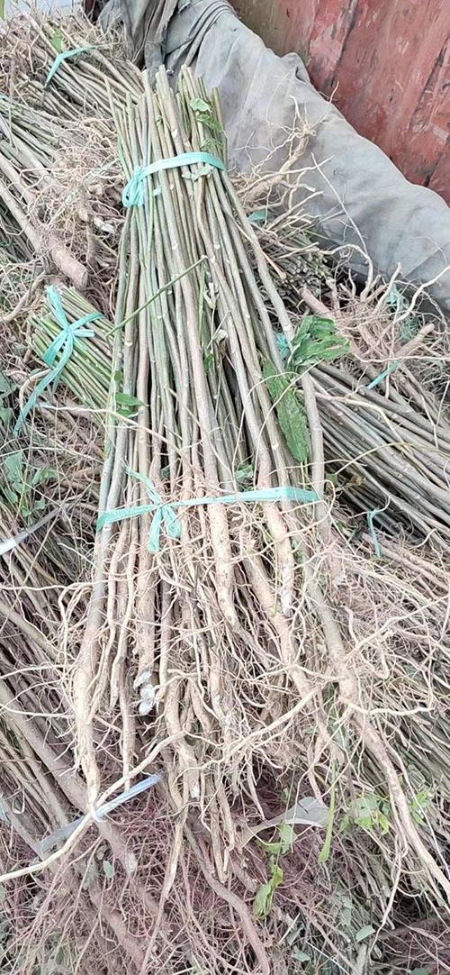 白皮臭椿树