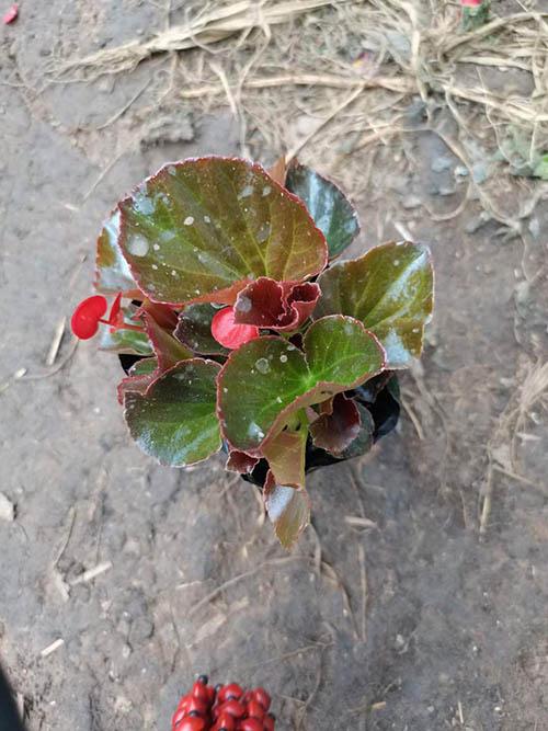 四季海棠栽培技术