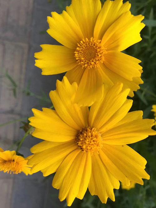 大花金鸡菊